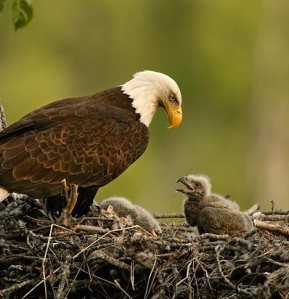 baby-eagle